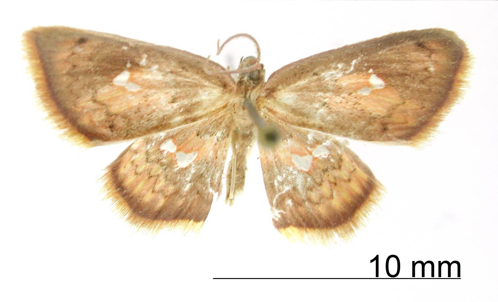 Image of <i>Tricentra apicata</i> Dognin 1910