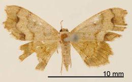 Image of <i>Odontoptila mimica</i> Dognin 1902