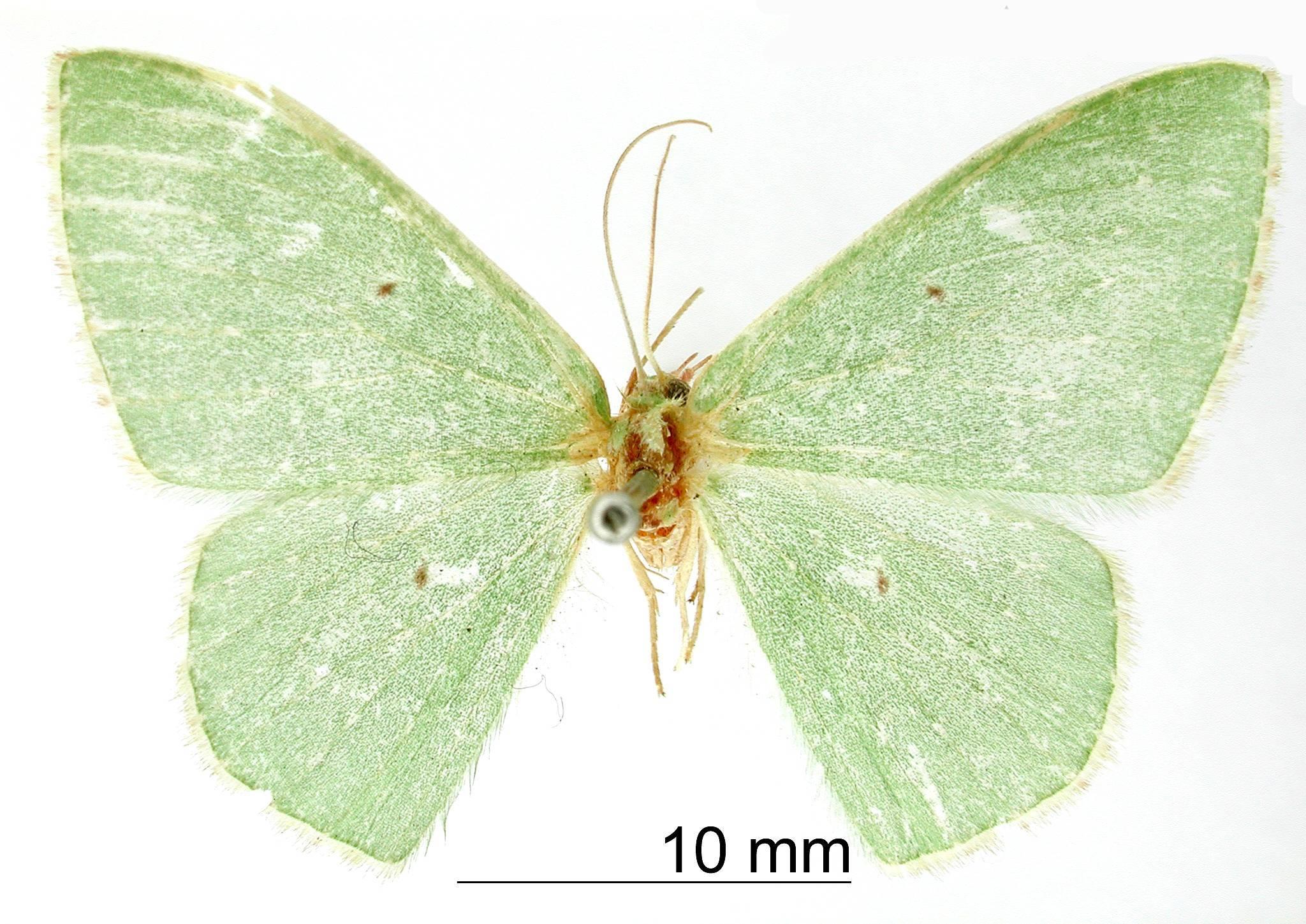 Image of <i>Geometra carbina</i> Druce