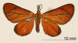 Image of <i>Eudule sororcula</i> Schaus 1929