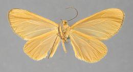 Image of <i>Eudule nanora</i> Schaus