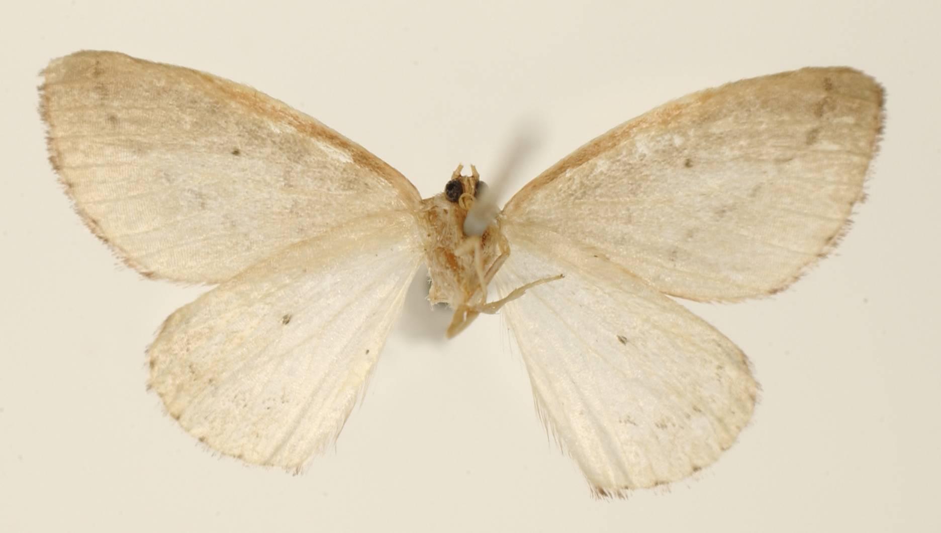 Image of <i>Narquena resalaria</i> Schaus 1929