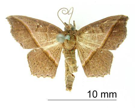 Image of <i>Erythrolophus bicolor</i> Dognin