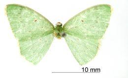 Image of <i>Geometra calida</i> Dognin