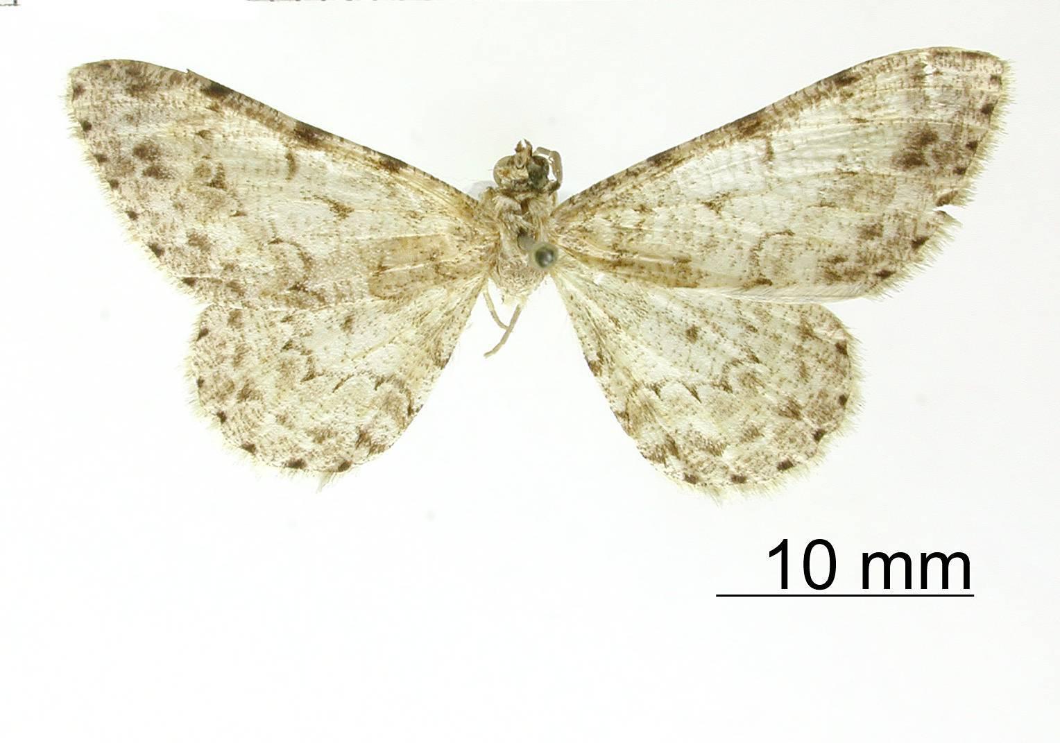 Image of <i>Alcis mopsaria</i> Schaus