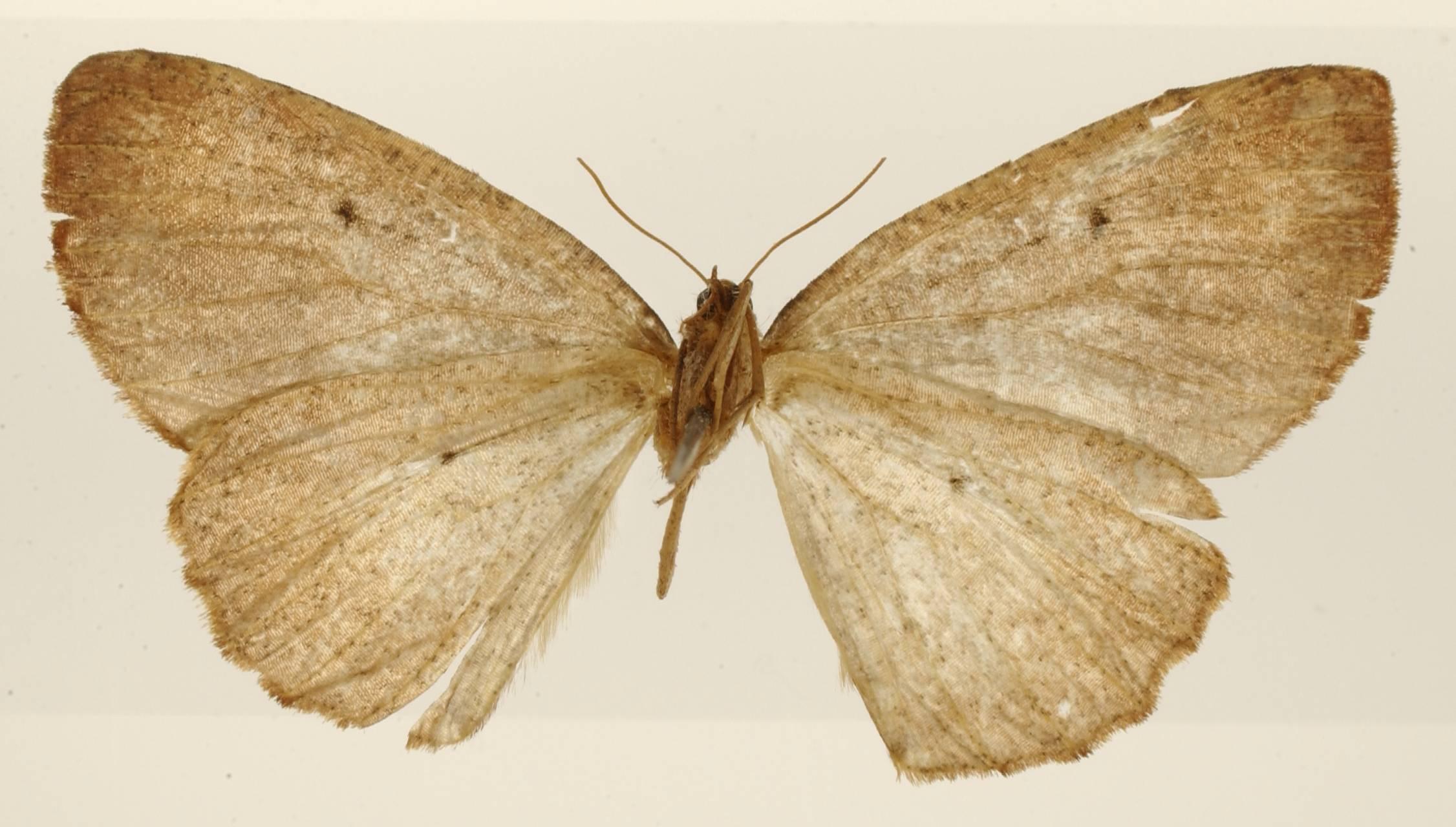 Image of <i>Angerona rufaria</i> Dognin 1911