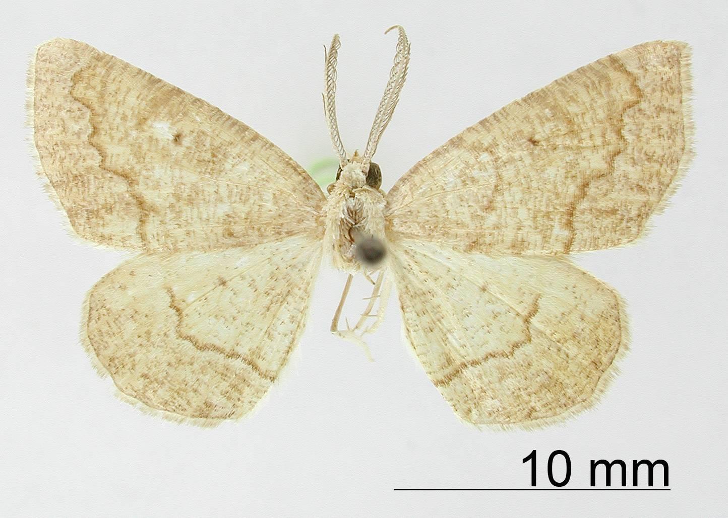 Image of <i>Apicia aberrans</i> Dyar 1918