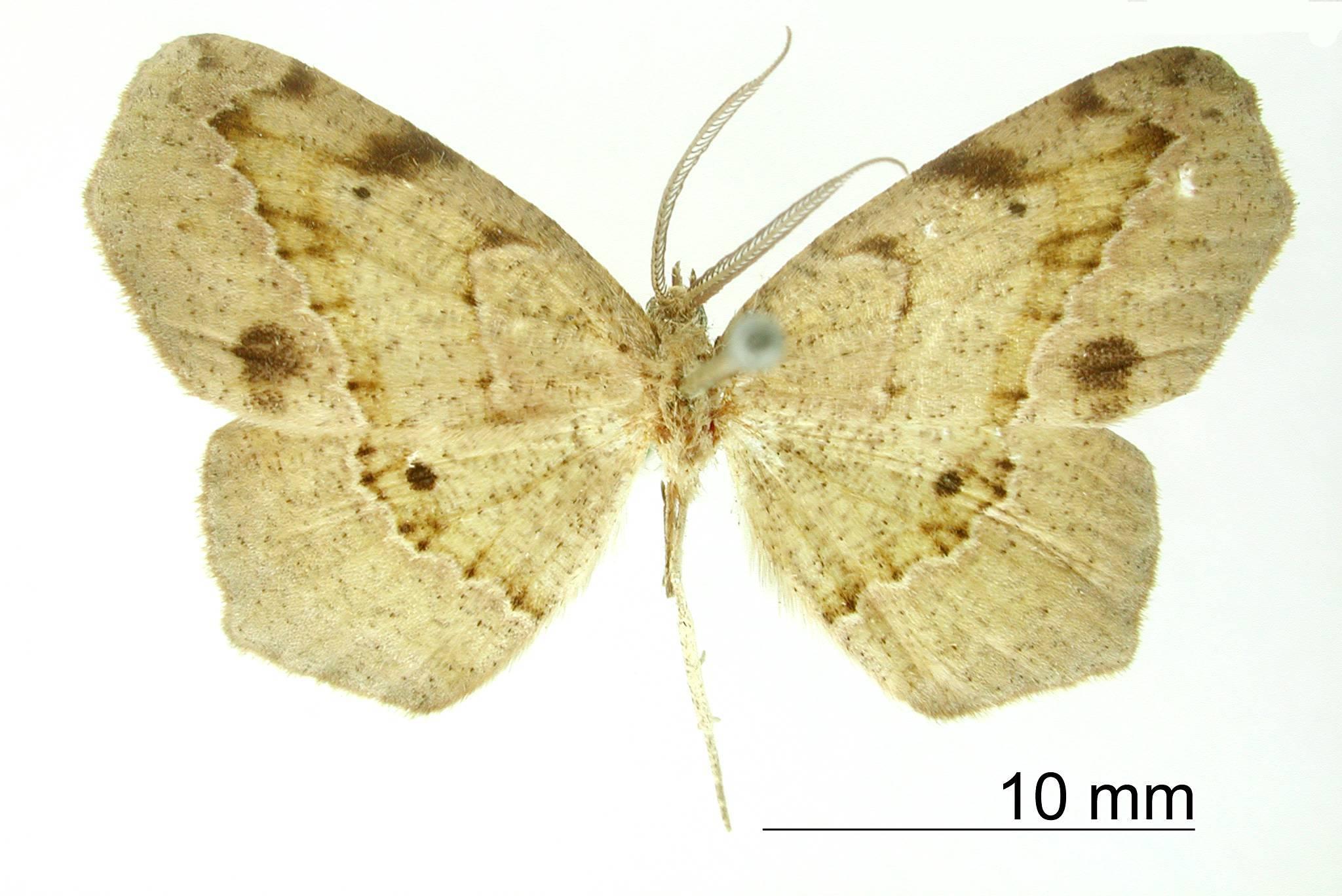 Image of <i>Apicia calcaria</i> Schaus 1901