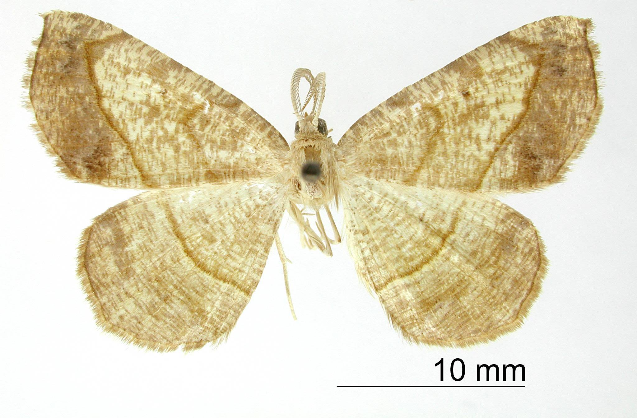 Image of <i>Apicia commota</i> Dyar 1916