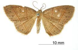 Image of <i>Apicia demoleon</i> Schaus 1913
