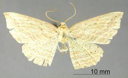 Image of <i>Apicia deoia</i> Schaus 1913