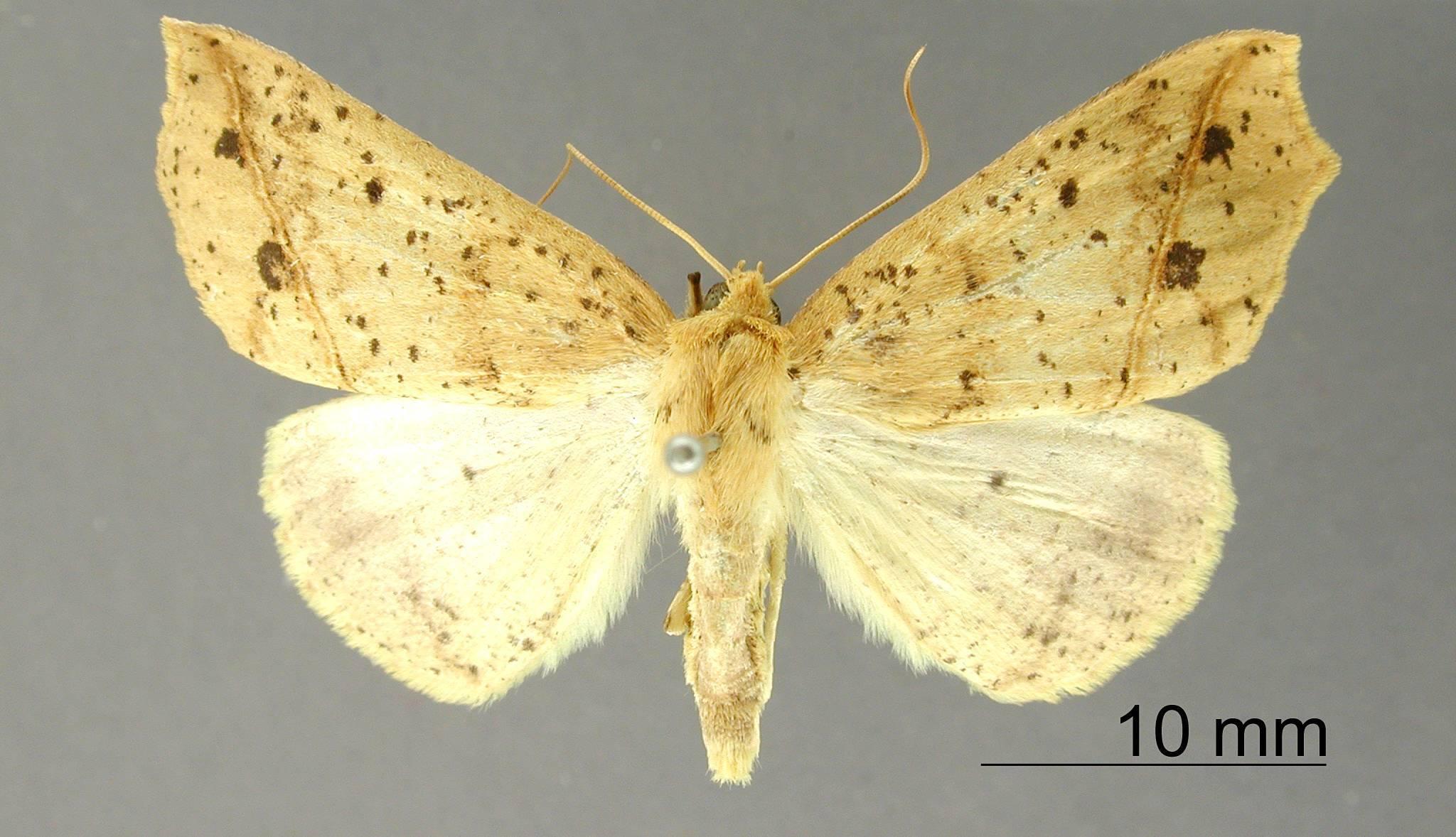 Image of <i>Apicia emilia</i> Dognin