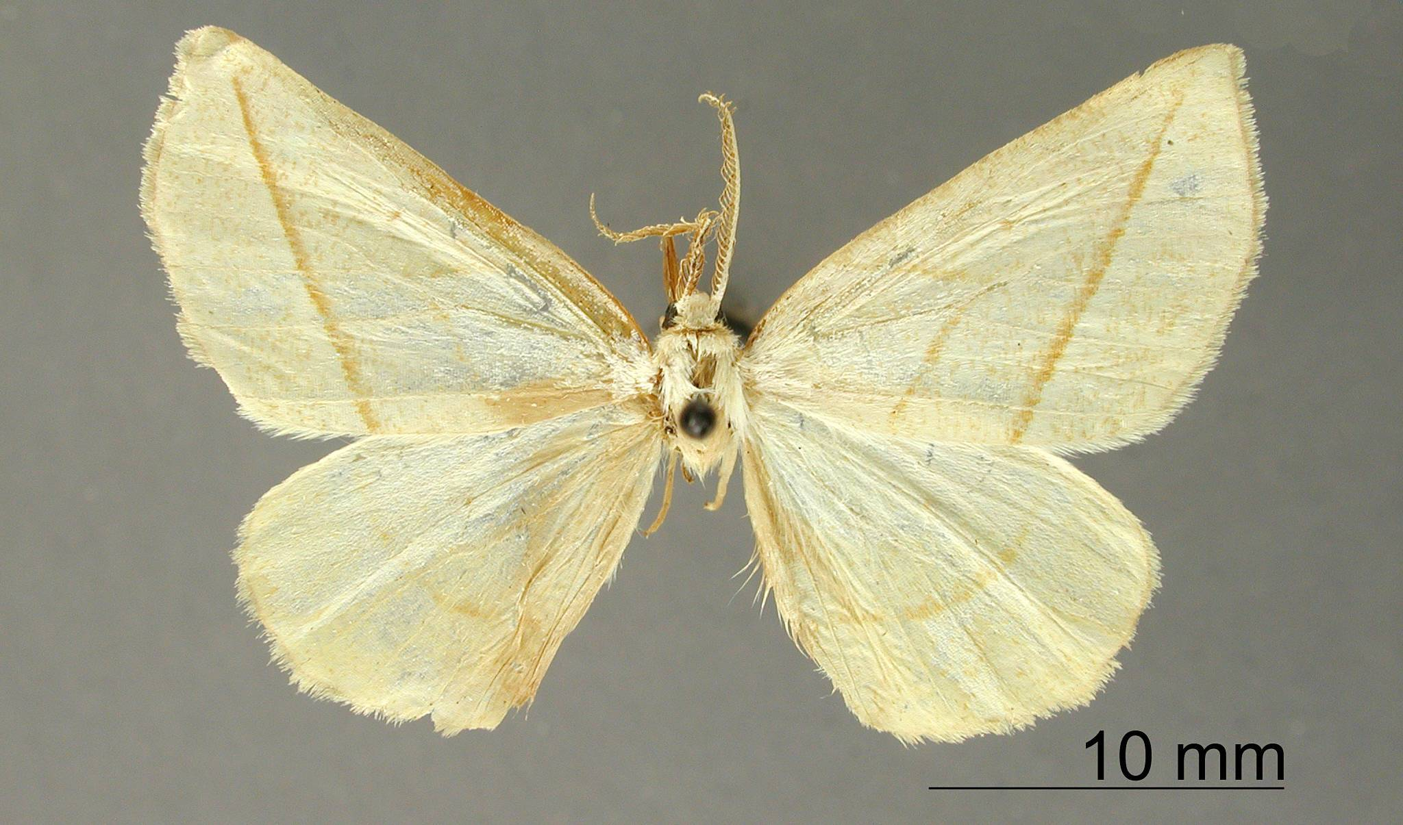 Image of <i>Apicia entochyna</i> Dyar 1915