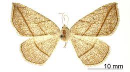 Image of <i>Apicia entychon</i> Dyar 1913
