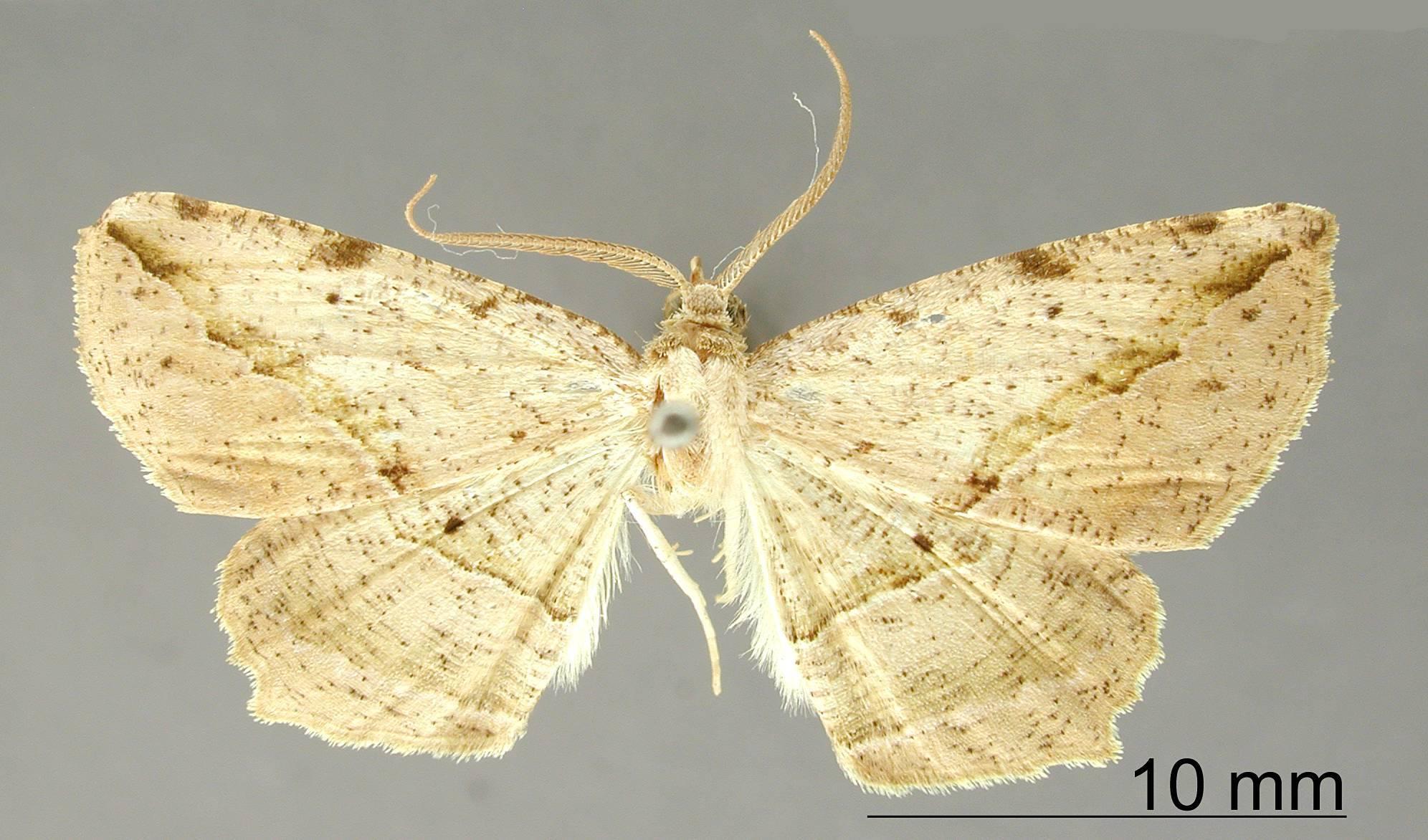 Image of <i>Apicia flexilis</i> Schaus 1912