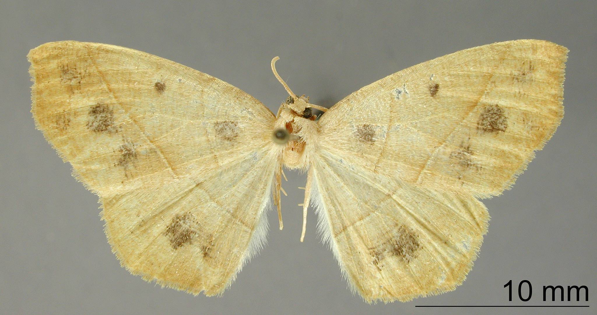 Image of <i>Apicia ischyrizoaria</i> Dyar 1912