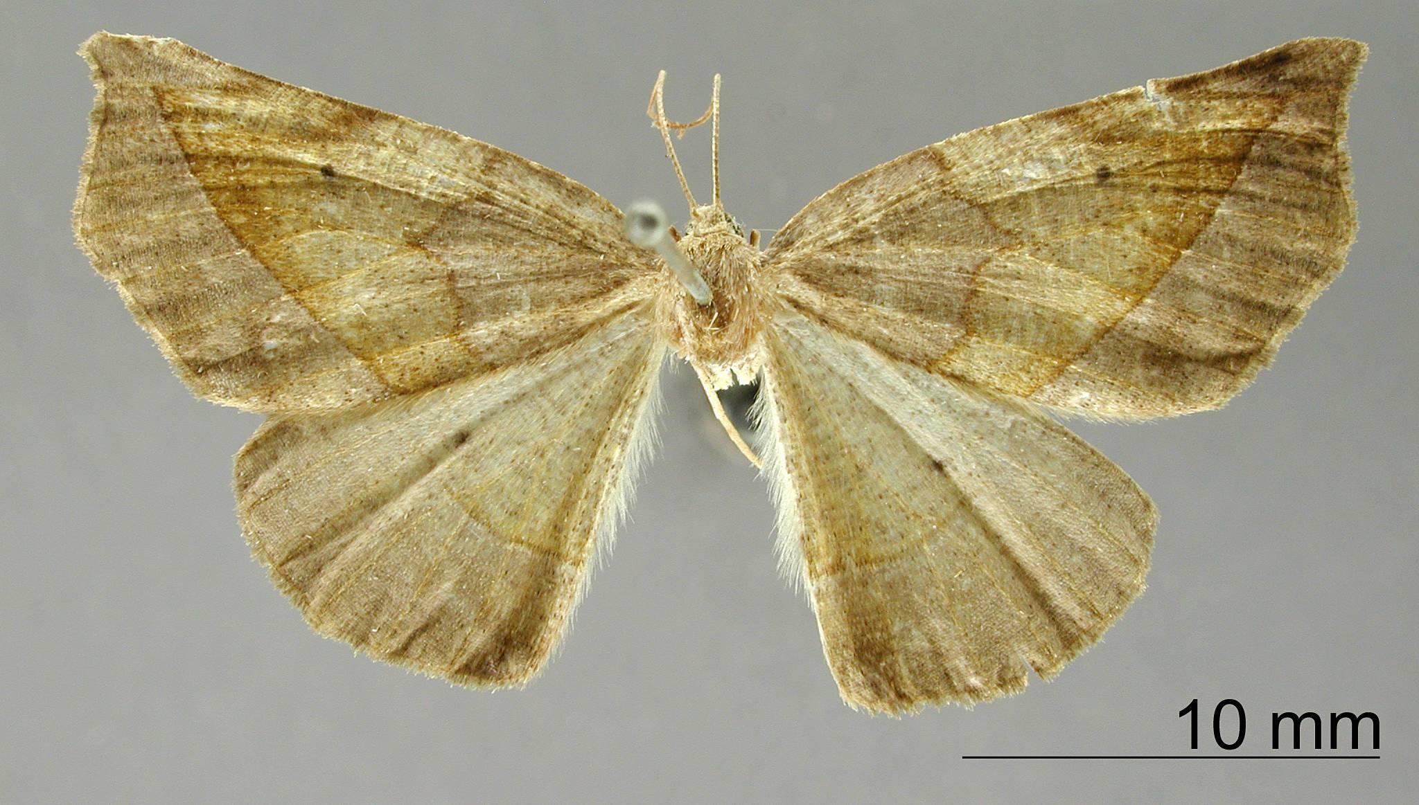 Image of <i>Apicia laevipennis</i> Dognin 1908
