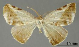 Image of <i>Apicia lepida</i> Dognin 1903