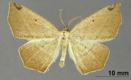 Image of <i>Apicia maldama</i> Schaus