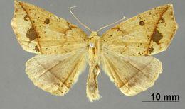 Image of <i>Apicia mathilda</i> Thierry-Mieg