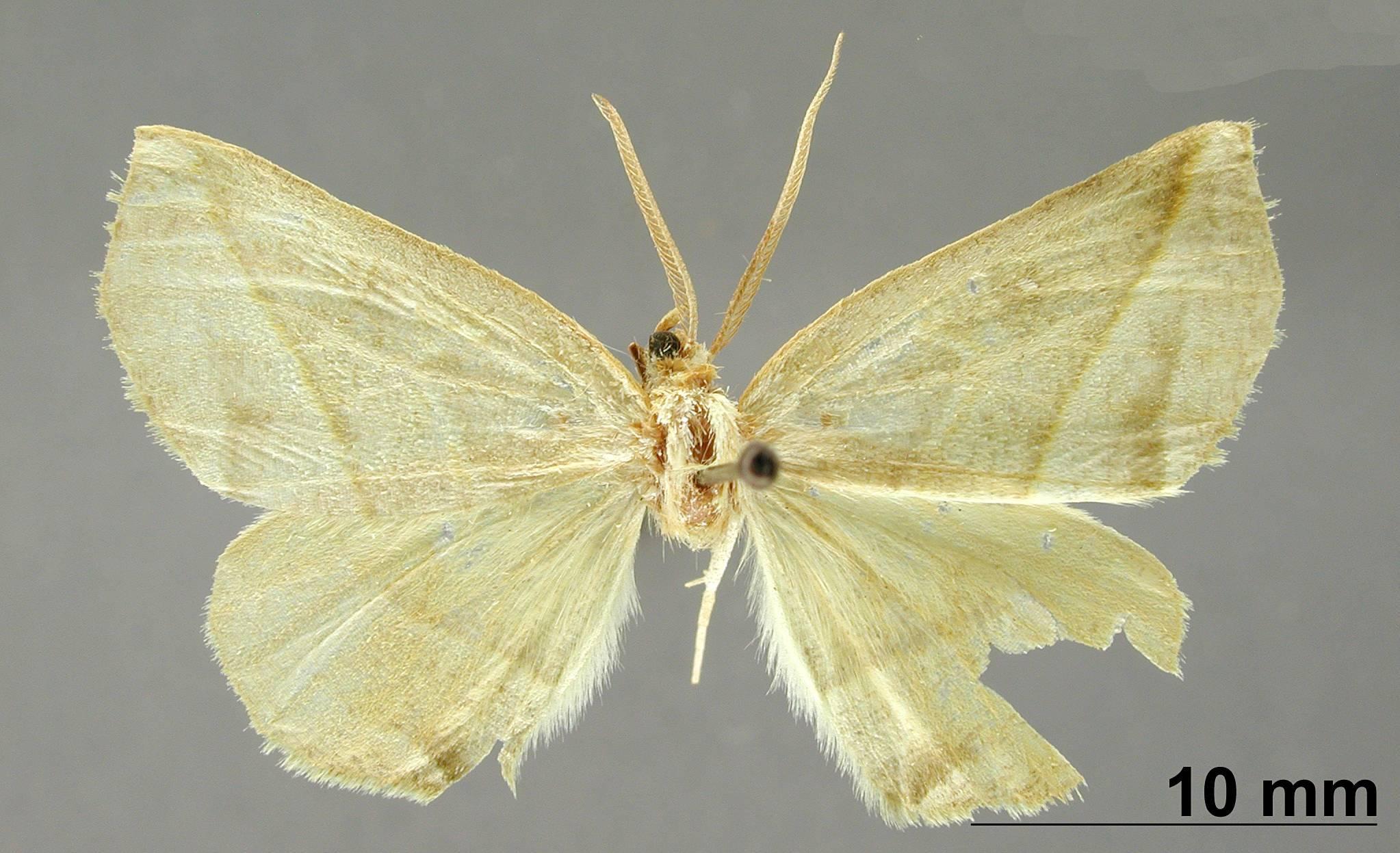 Image of <i>Apicia mesenterica</i> Dyar 1916