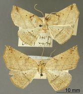 Image of <i>Apicia oberthuri</i> Dognin 1913