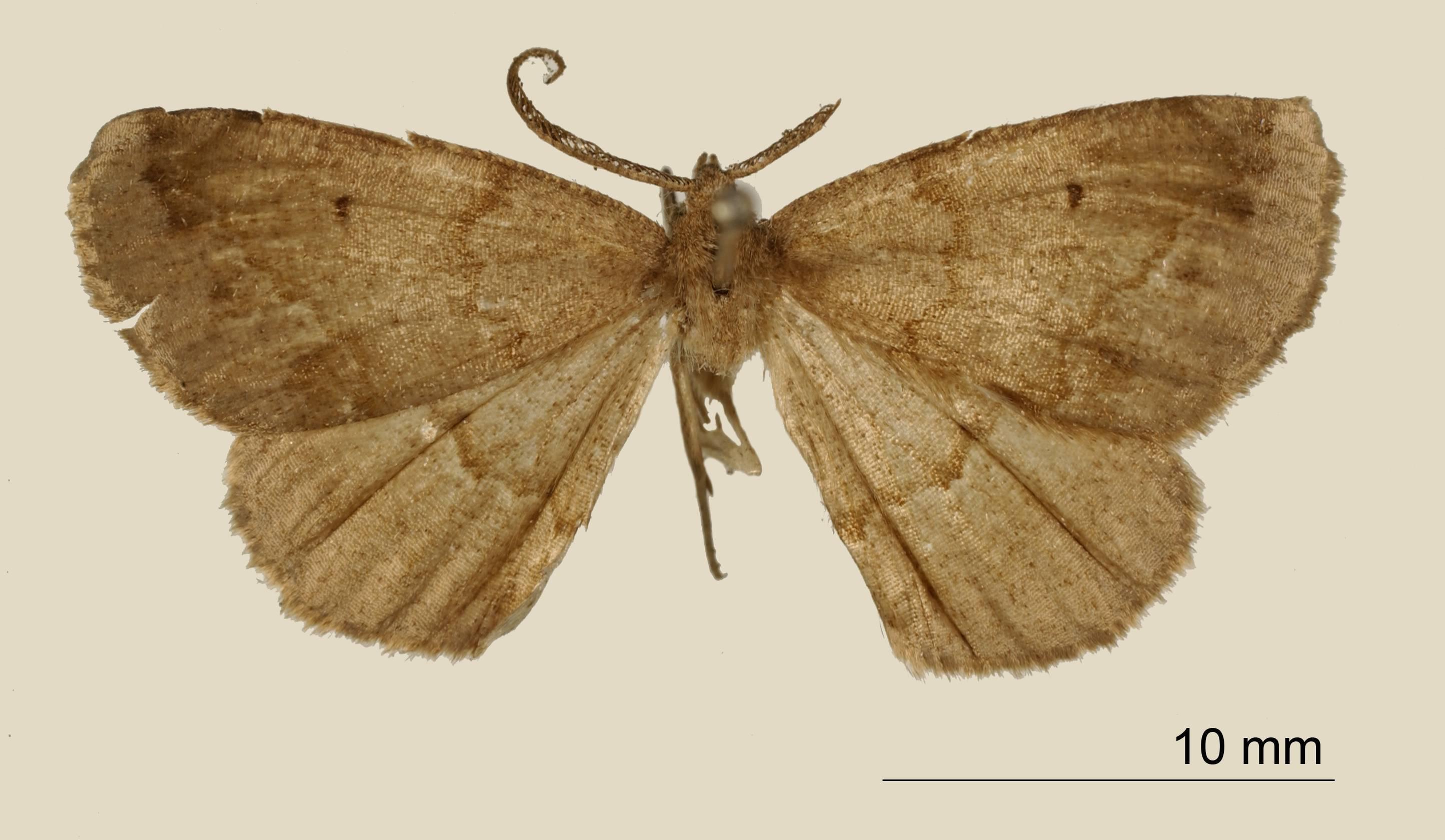 Image of <i>Apicia olivata</i> Dognin 1907