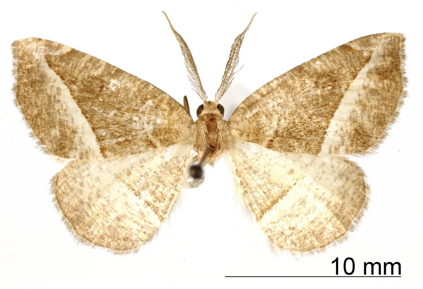 Image of <i>Apicia porrigaria</i> Dyar 1916