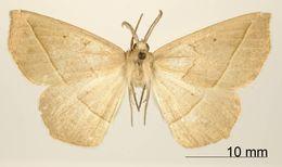 Image of <i>Apicia remorta</i> Dyar 1915