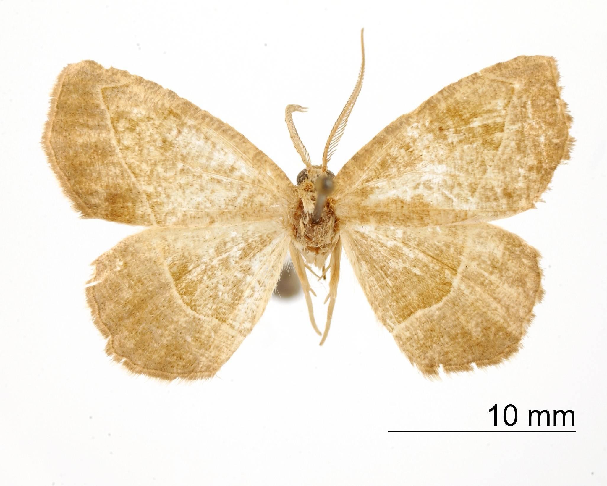 Image of <i>Apicia yssone</i> Dyar 1916
