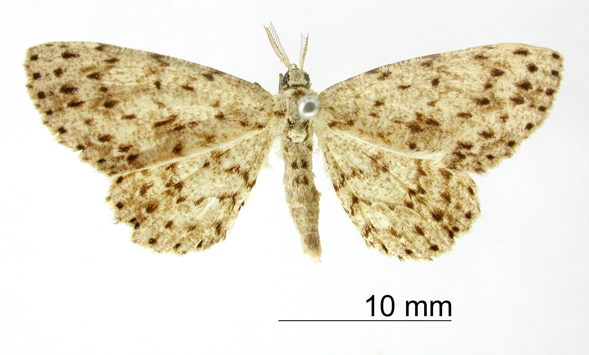 Image of <i>Catoria canidentata</i> Dognin