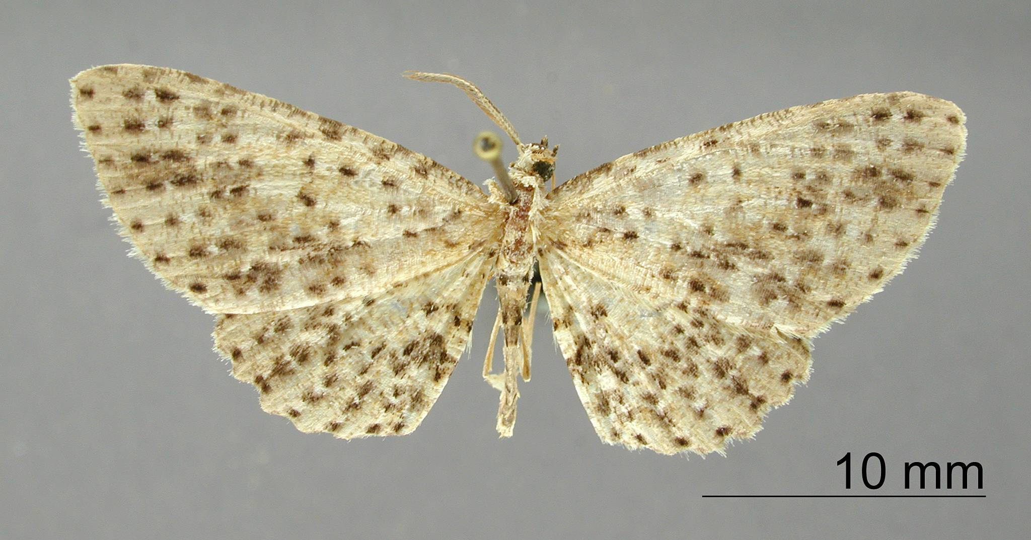 Image of <i>Catoria multipunctata</i> Dognin