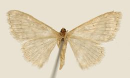 Image of <i>Emmiltis ordinaria</i> Dyar