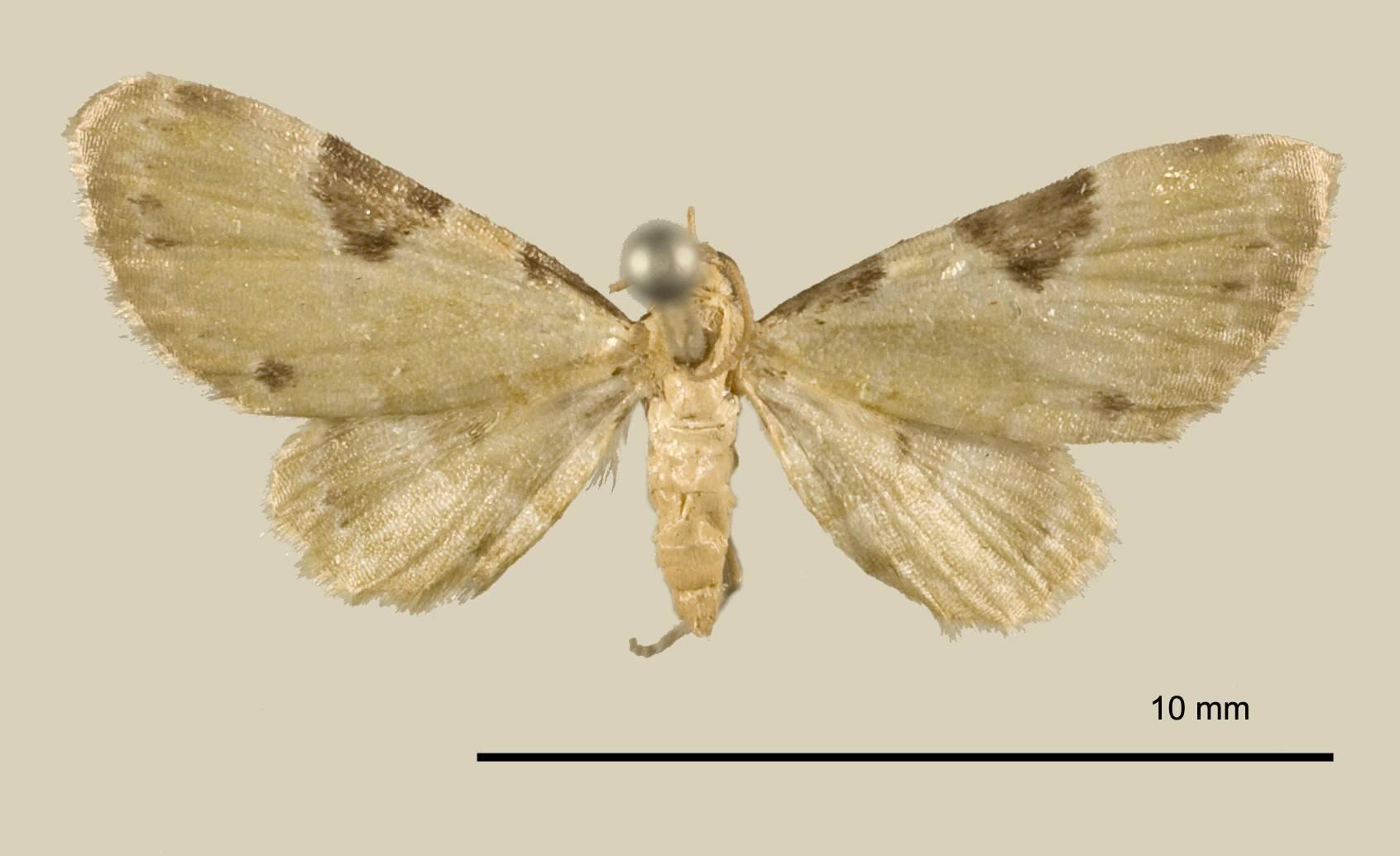 Image of <i>Eupithecia tenera</i> Schaus 1913