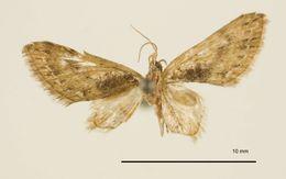Image of <i>Eupithecia penicilla</i> Dognin 1901