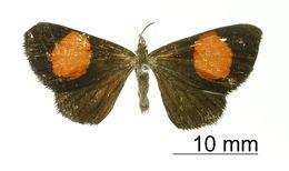 Image of <i>Mimomanes egregia</i> Dognin 1906