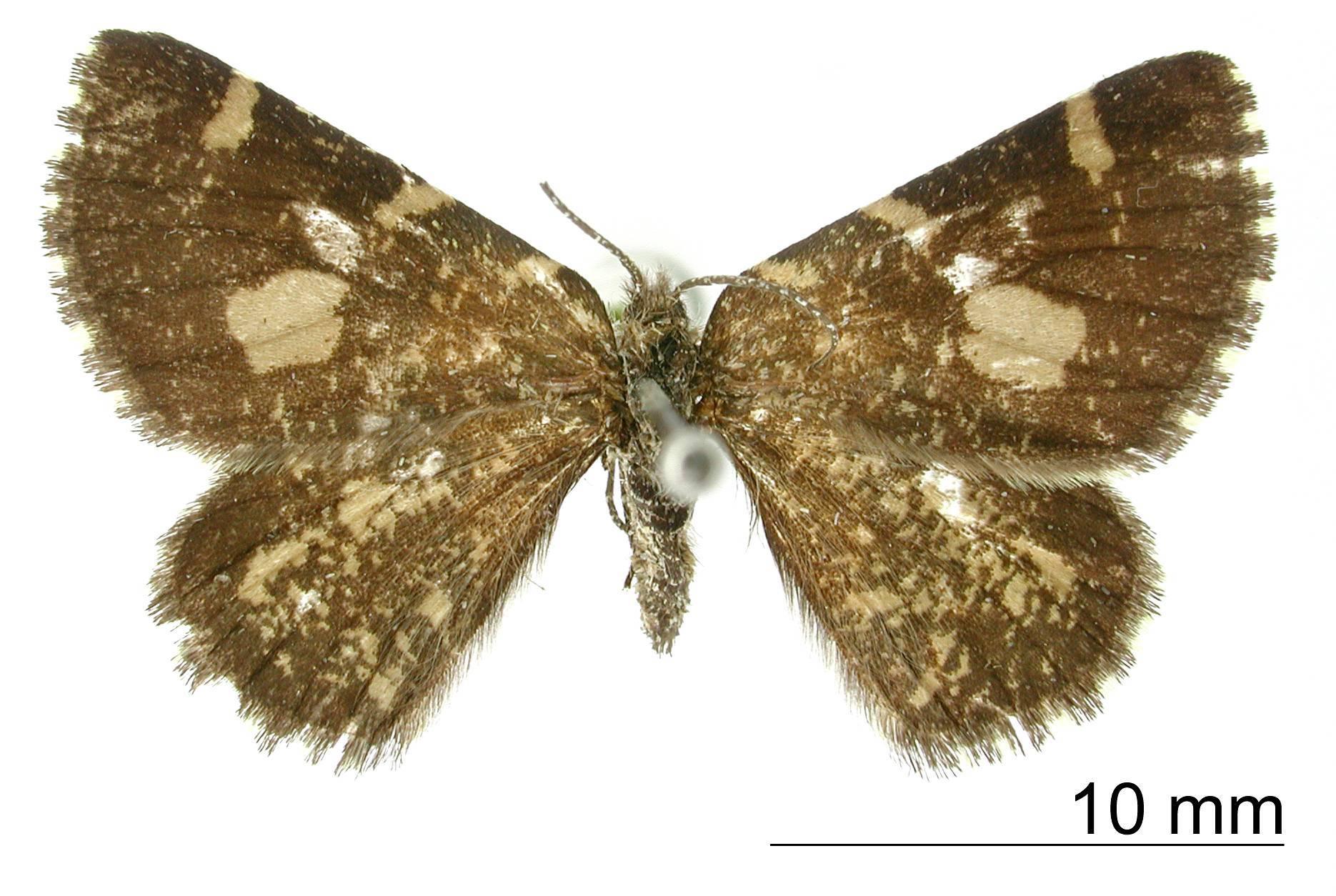 Image of <i>Oreonoma conspersata</i> Dognin