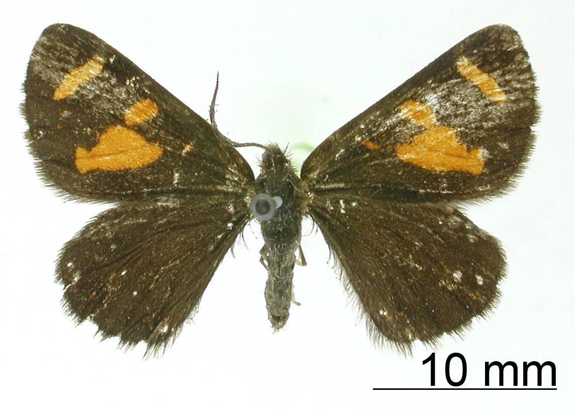 Image of <i>Oreonoma rubriplaga</i> Warren 1906