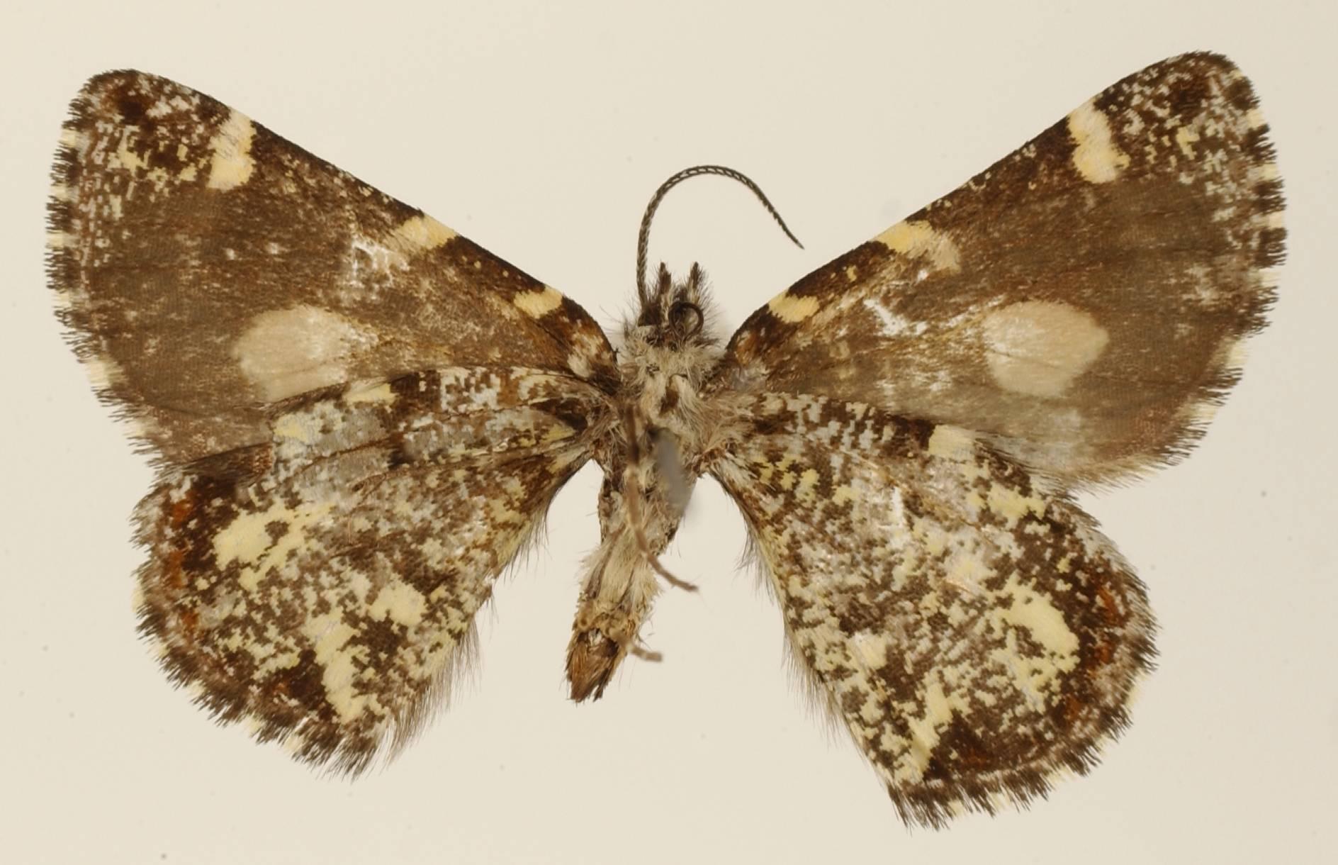 Image of <i>Oreonoma sectiplaga</i> Dognin 1911