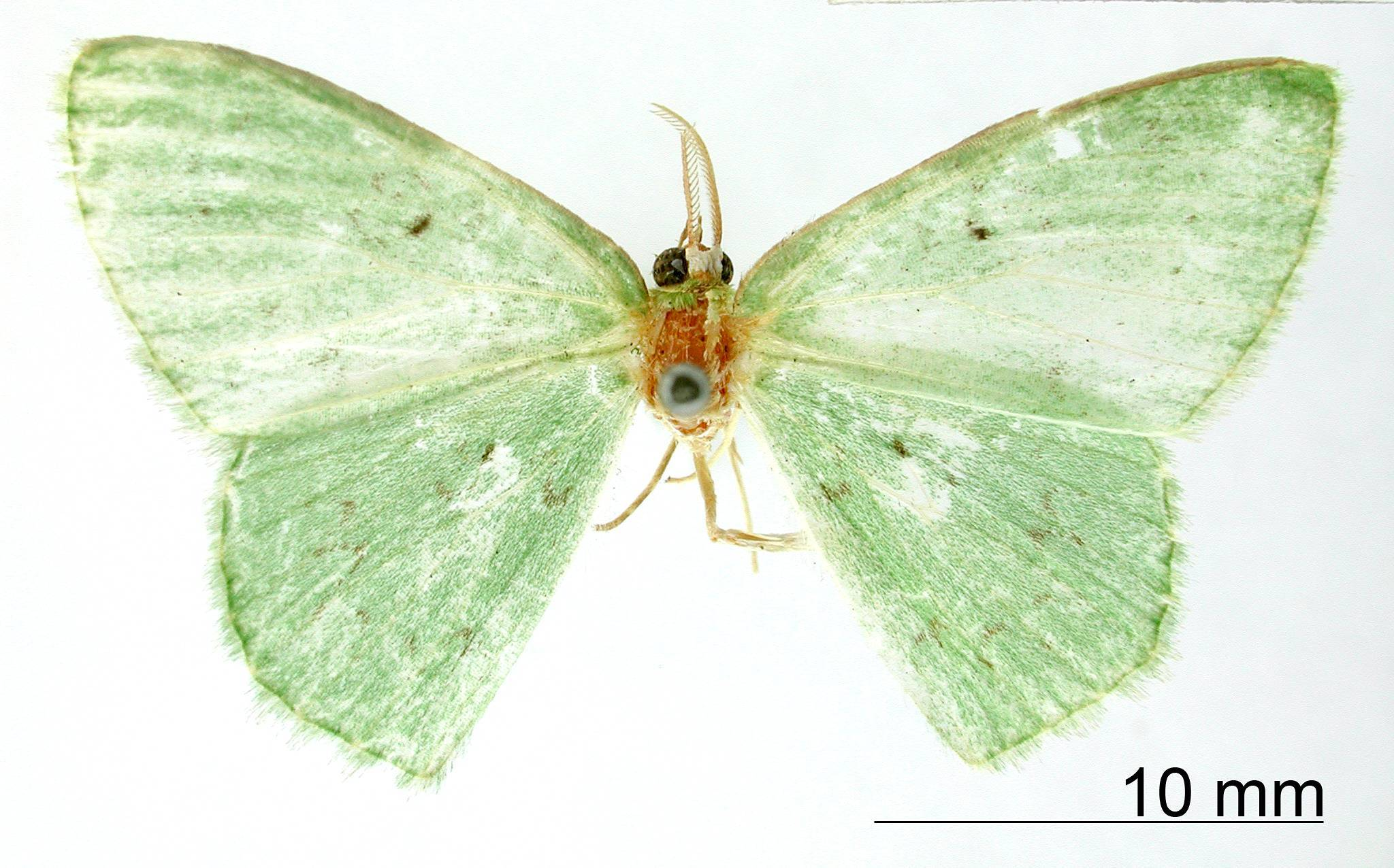 Image of <i>Geometra aturia</i> Druce