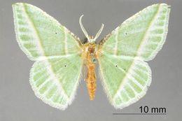 Image of <i>Geometra consequaria</i> Edwards