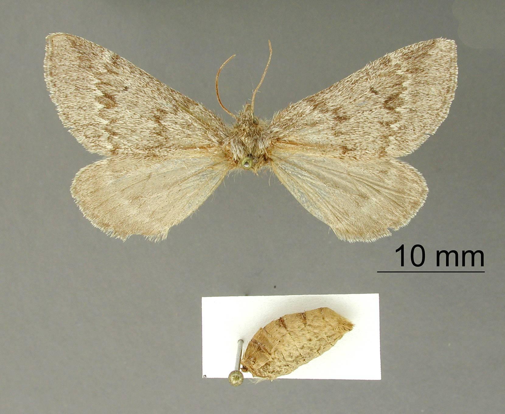 Image of <i>Caenosynteles haploaria</i> Dyar 1912