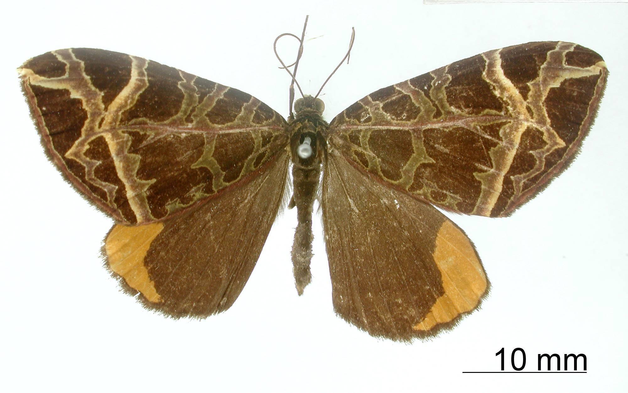 Image of <i>Cidaria apiciflava</i> Dognin