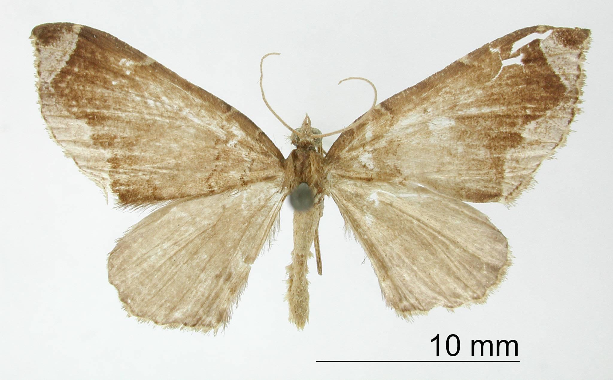Image of <i>Cidaria cinereolimitata</i> Thierry-Mieg
