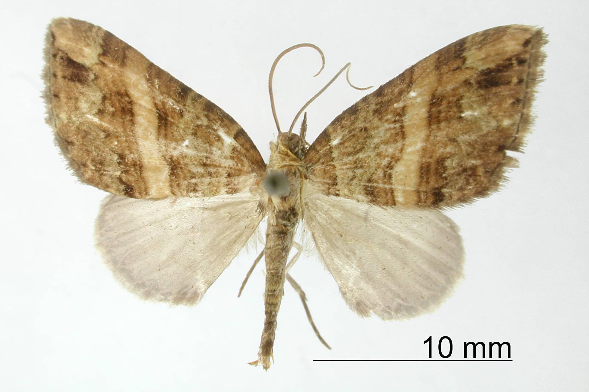 Image of <i>Cidaria cortadoides</i> Dognin