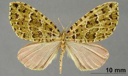 Image of <i>Cidaria malacata</i> Dognin