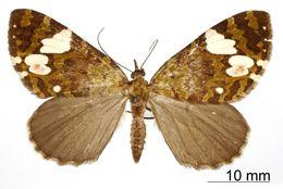 Image of <i>Cidaria polyphonta</i> Druce