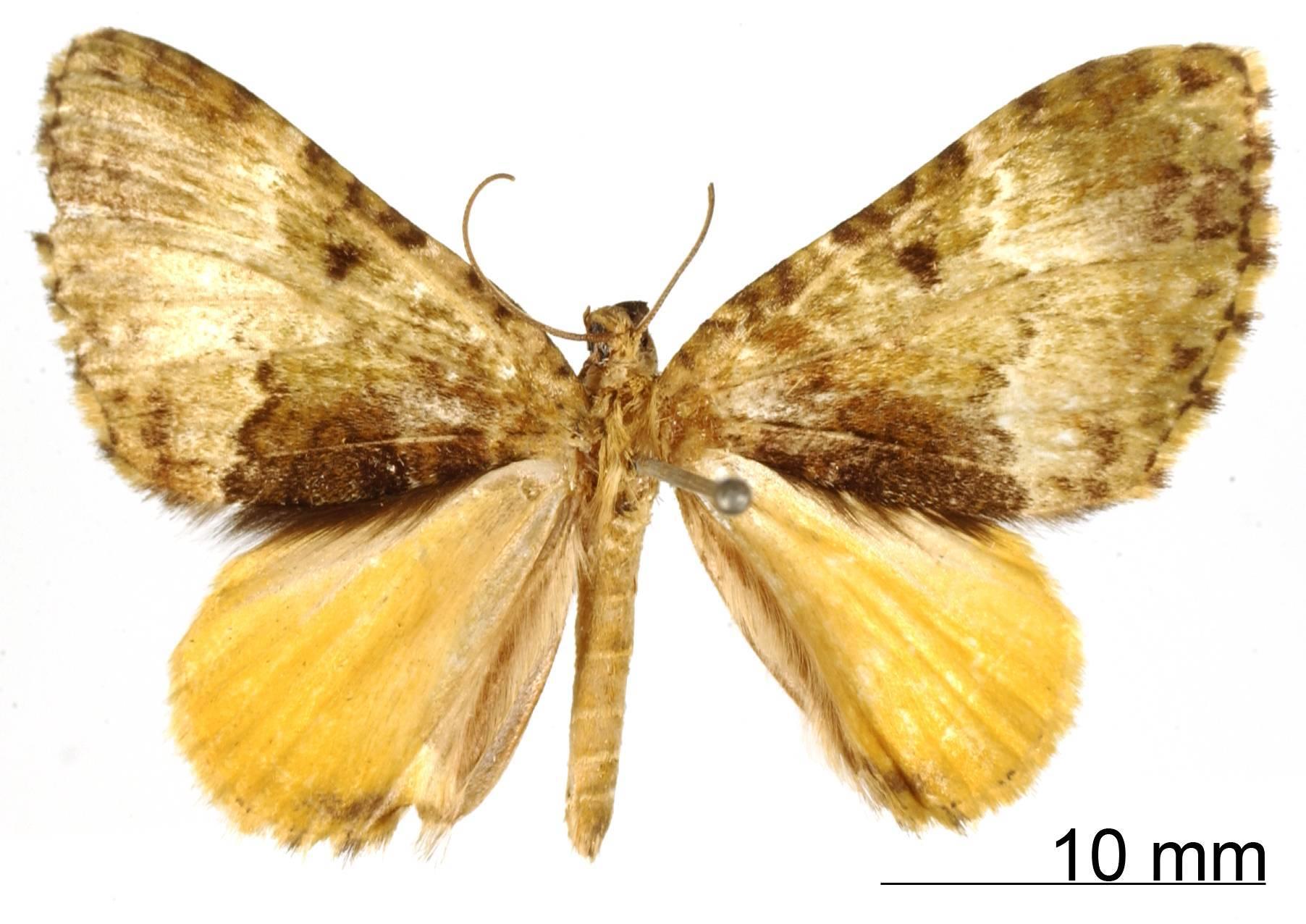 Image of <i>Cidaria postluteata</i> Thierry-Mieg