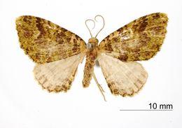 Image of <i>Cidaria yerba</i> Schaus