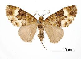 Image of <i>Cidaria zenobia</i> Thierry-Mieg